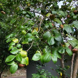 故郷の夏〜。つばきの実と緑がモクモク!