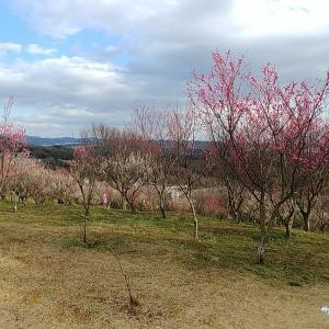 ひー様と雌岡山の梅林へ。桜の前に梅の花を見に行きました。