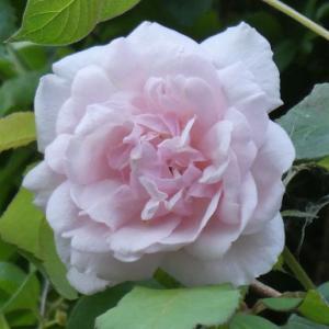 土砂降りとバラの花