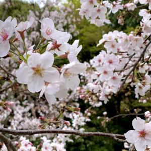 桜 3/29