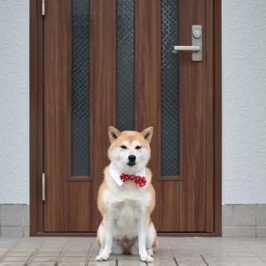 柴犬マイア  外壁塗装が完成しました。