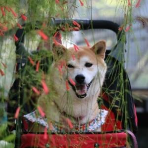 柴犬マイア  手柄山温室植物園に行ってきた