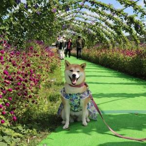 柴犬マイア  亀岡 夢コスモス園に行ってきた