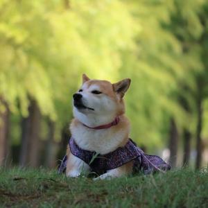 柴犬マイア  天満大池公園に行ってきた