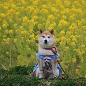 柴犬マイア  御津の菜の花畑に行ってきた
