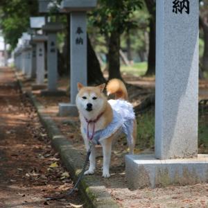 柴犬マイア  浜の宮公園に行ってきた