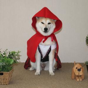 柴犬マイア  赤ずきんちゃんになりました