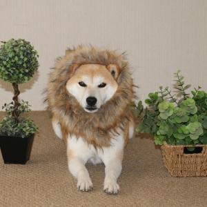 柴犬マイア  百獣の王 ライオンになりました