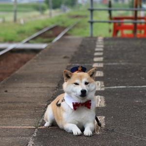 柴犬マイア  ワンコ駅長(犬駅長)になりました