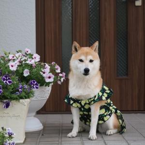 柴犬マイア  新しい手作り服(Ver77)ができました