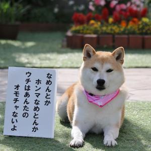 柴犬マイア  コスプレのぼやき