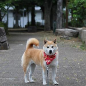 柴犬マイア  日頃 散歩する公園