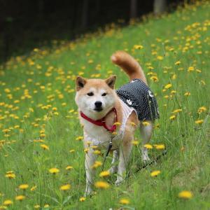 柴犬マイア  マイアのInstagram