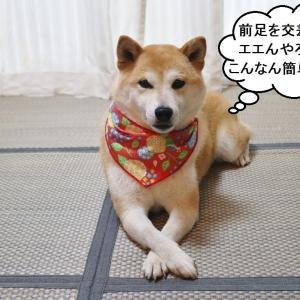 柴犬マイア  芸(前足交差)の動画