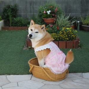 柴犬マイア  新しい手作り服(Ver78)ができました