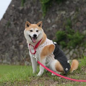 柴犬マイア  篠山城跡に行ってきた