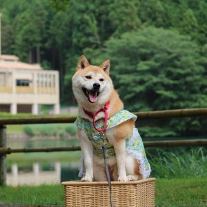 柴犬マイア  ユニトピアささやまに行ってきた