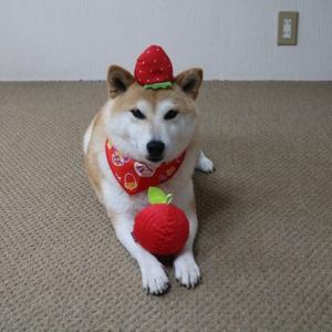 柴犬マイア  犬の玩具