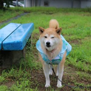 柴犬マイア  レインコートを着てお散歩