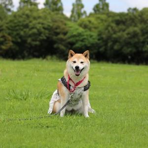 柴犬マイア  再び 赤穂海浜公園に行ってきた