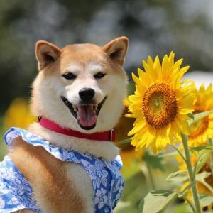 柴犬マイア  ひまわりの丘公園前花畑に行ってきた