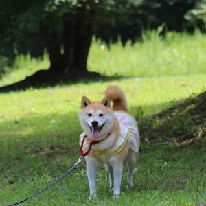 柴犬マイア  三木山森林公園に行ってきた