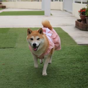 柴犬マイア  新しい手作り服(Ver81)ができました