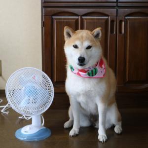 柴犬マイア  マイアの熱中症対策