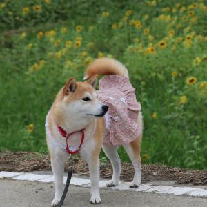 柴犬マイア  佐用町東徳久のひわまり畑に行ってきた