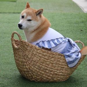 柴犬マイア  新しい手作り服(Ver82)ができました