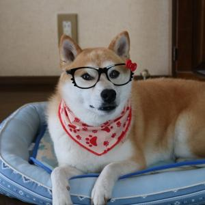 柴犬マイア  眼鏡(サングラス)をかけさせてみた