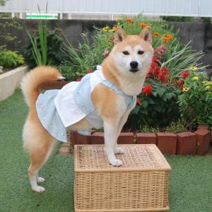 柴犬マイア  新しい手作り服(Ver83)ができました