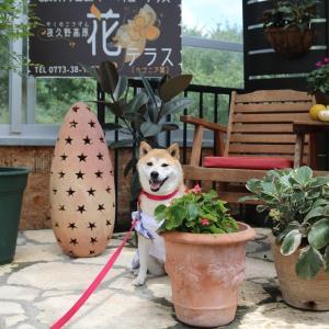 柴犬マイア  夜久野高原 花テラスに行ってきた