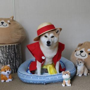 柴犬マイア  「ONE PIECE」(ワンピース)のルフィになりました