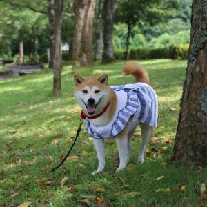 柴犬マイア  やくの玄武岩公園に行ってきた
