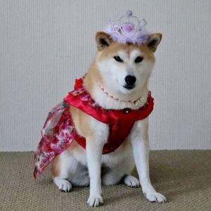 柴犬マイア  シバの女王になりました