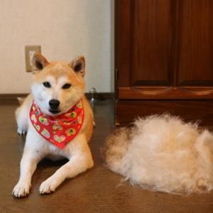 柴犬マイア  只今 換毛期「どれだけ毛が抜けんねん!」