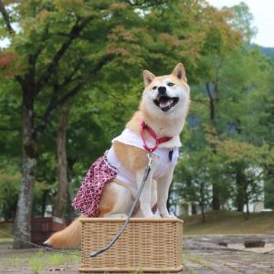 柴犬マイア  和田山中央文化公園に行ってきた