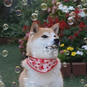 柴犬マイア  シャボン玉のマイア