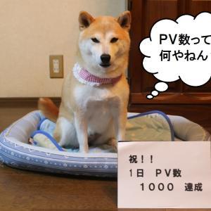 柴犬マイア  1日PV数 10000を達成することができました