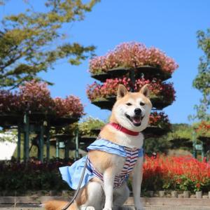 柴犬マイア  ウェルネスパーク五色・高田屋嘉兵衛公園に行ってきた