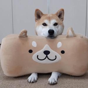 柴犬マイア  夏のお出かけのぼやき