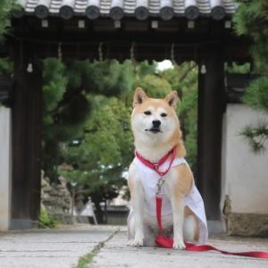 柴犬マイア  高砂神社に行ってきた