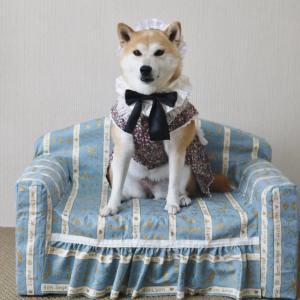 柴犬マイア  メイドさんになりました