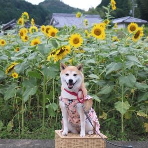 柴犬マイア  市川町 瀬加御船ひまわり畑に行ってきた