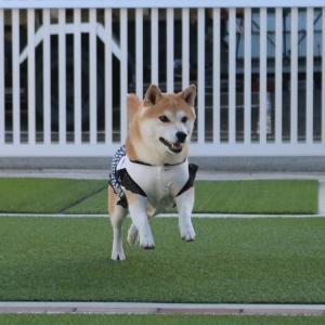 柴犬マイア  庭でボール遊びをする