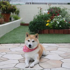 柴犬マイア  お庭の改装をしました