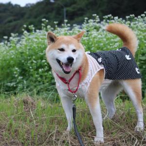 柴犬マイア  志方町野尻 そば畑に行ってきた