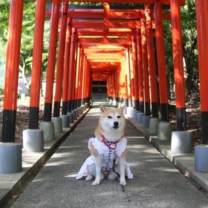 柴犬マイア  須濱神社と野森稲荷神社に行ってきた