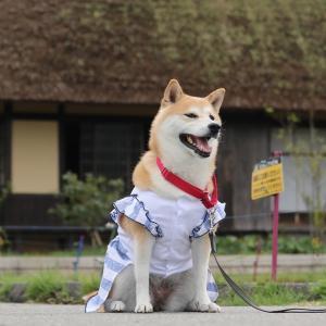 柴犬マイア  第5回 手作り服 ファッションショー
